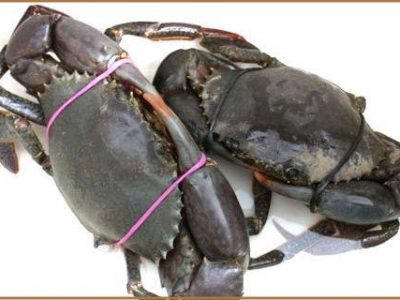 Fishermans-Co-Op-Live-Mud-Crab-500x320